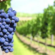 Uva monastrell: la reina del viñedo